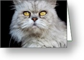 Persian Greeting Cards - Persian Gray Cat Greeting Card by Rogdy Espinoza Photography