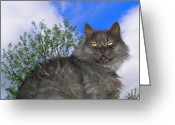 Zsuzsa Balla Greeting Cards - Persian King Cat Greeting Card by Zsuzsa Balla