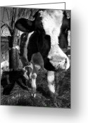 Cows Framed Prints Greeting Cards - Persistent Gabriella with Zoey Greeting Card by Danielle Summa