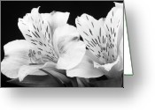 Flowers Pictures Greeting Cards - Peruvian Lilies Botanical Black and White Print Greeting Card by James Bo Insogna