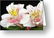 Flowers Pictures Greeting Cards - Peruvian Lilies Colorful Botanical Fine Art Print Greeting Card by James Bo Insogna
