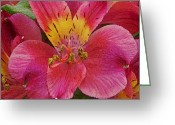 Lilies Flowers Greeting Cards - Peruvian Lilies Greeting Card by Ernie Echols