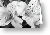 Flowers Pictures Greeting Cards - Peruvian Lilies  Flowers Black and White Print Greeting Card by James Bo Insogna