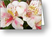 Flowers Pictures Greeting Cards - Peruvian Lilies  Flowers White and Pink Color Print Greeting Card by James Bo Insogna