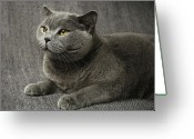 Staring Greeting Cards - Pet Portrait Of British Shorthair Cat Greeting Card by Nancy Branston