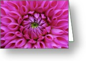 Dahlia Greeting Cards - Petals Of Pink Dahlia Greeting Card by Achim Mittler, Frankfurt am Main