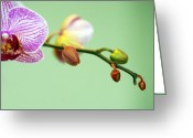 Phalaenopsis Orchid Greeting Cards - Phalaenopsis Greeting Card by Marilyn Hunt