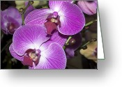 Phalaenopsis Orchid Greeting Cards - Phalaenopsis Orchid Greeting Card by Kenneth Albin