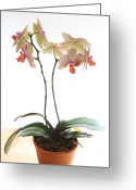 Phalaenopsis Orchid Greeting Cards - Phalaenopsis Orchid Greeting Card by L S Keely