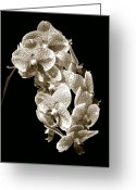 Phalaenopsis Orchid Greeting Cards - Phalaenopsis Greeting Card by Steven Sparks
