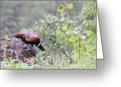 Pheasant Greeting Cards - Pheasant in the Rain Greeting Card by Karol  Livote