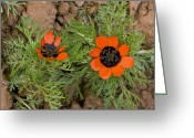 Cornfield Greeting Cards - Pheasants Eye (adonis Aestivalis) Greeting Card by Bob Gibbons