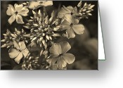 Light And Dark  Greeting Cards - Phlox In  Sepia Greeting Card by Joy DiNardo Bradley         DiNardo Designs                     