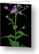 Del Norte Greeting Cards - Phlox Greeting Card by Michael Peychich