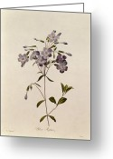 Floral Drawings Greeting Cards - Phlox reptans Greeting Card by Pierre Joseph Redoute
