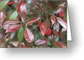 Red Leaves Greeting Cards - Photinia Fraseri Leaves Greeting Card by Maxine Adcock