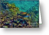 Reef Fish Greeting Cards - Picasso Triggerfish Greeting Card by Bette Phelan