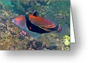 Tropical Fish Greeting Cards - Picasso Triggerfish Up Close Greeting Card by Bette Phelan