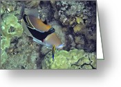 Tropical Fish Greeting Cards - Picasso with Cleaner Wrasse Greeting Card by Bette Phelan