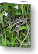 Brown Frog Greeting Cards - Pickerel Frog Greeting Card by Smilin Eyes  Treasures