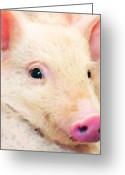 Pig Greeting Cards - Pig Art - Pretty In Pink Greeting Card by Sharon Cummings