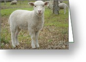 Sheep Greeting Cards - Piglet Greeting Card by Warren Sarle