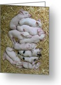 Pig Greeting Cards - Piglets Greeting Card by Rebecca Richardson
