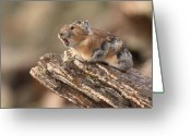 Alarm Greeting Cards - Pika Barking From Rocktop Perch Greeting Card by Max Allen