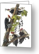 North America Greeting Cards - Pileated Woodpecker Greeting Card by John James Audubon