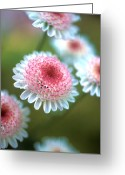 Flower Greeting Cards Greeting Cards - Pincushion Flowers Greeting Card by Kathy Yates
