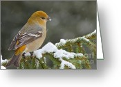 Winter Storm Greeting Cards - Pine Grosbeak-female in the winter storm Greeting Card by Mircea Costina Photography