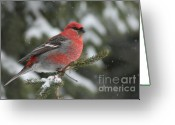 Winter Storm Greeting Cards - Pine Grosbeak-male in the snow storm Greeting Card by Mircea Costina Photography