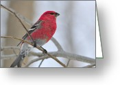 Tony Greeting Cards - Pine Grosbeak Greeting Card by Tony Beck