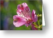 Incas Greeting Cards - Pink Alstroemeria Flower Greeting Card by Rona Black