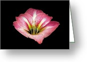 Flower Works Greeting Cards - Pink Amaryllis. Greeting Card by Chris  Kusik