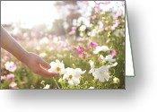 Human Hand Greeting Cards - Pink And White Cosmos Flower Greeting Card by Ajari