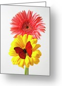 Chrysanthemum Greeting Cards - Pink and yellow mums Greeting Card by Garry Gay