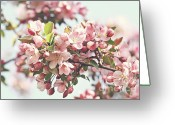 Stamen Greeting Cards - Pink apple blossoms Greeting Card by Sandra Cunningham