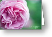 Roses Photos Greeting Cards - Pink Bourbon Rose LOUISE ODIER Greeting Card by Frank Tschakert
