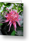 Bromeliad Greeting Cards - Pink Bromeliad Greeting Card by Andee Photography