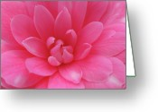 Theaceae Greeting Cards - Pink Camellia Greeting Card by Juergen Roth