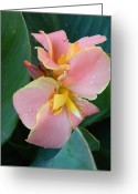 Canna Greeting Cards - Pink Canna Lily with Raindrops Greeting Card by Warren Thompson