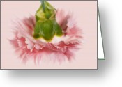 Coronation Greeting Cards - Pink Carnation Greeting Card by Svetlana Sewell