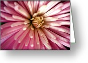 Delicate Bloom Greeting Cards - Pink Chrysanthemum Greeting Card by Susie Weaver