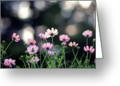 Cosmos Greeting Cards - Pink Cosmos Flower Greeting Card by Marie Eve K.A.