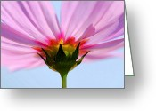 Florida Flowers Greeting Cards - Pink Cosmos Greeting Card by Rich Franco