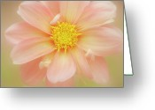 Dahlia Greeting Cards - Pink Dahlia Flower Greeting Card by Kathleen Clemons