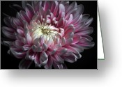 Pink Flower Greeting Cards - Pink Dhalia Greeting Card by Flower photography by Viorica Maghetiu