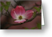 Dogwood Blossom Greeting Cards - Pink Dogwood Blossom Greeting Card by Sandy Keeton