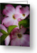 Dogwood Blossom Greeting Cards - Pink Dogwood Blossoms Greeting Card by David Patterson